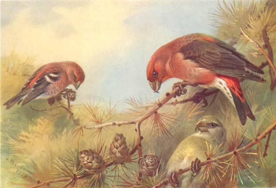 Associate Product BRITISH BIRDS. Two-Barred Crossbill; Crossbill. THORBURN 1925 old print