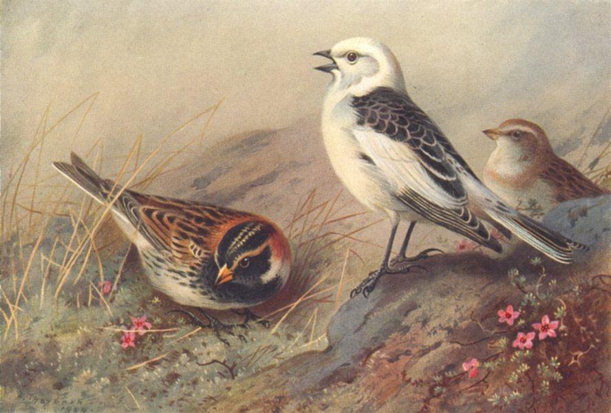 Associate Product BRITISH BIRDS. Lapland Bunting; Snow-Bunting. THORBURN 1925 old vintage print