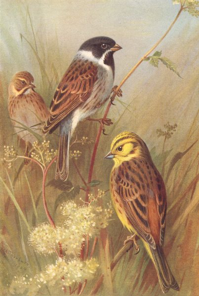 Associate Product BRITISH BIRDS. Reed-Bunting (male & female) ; Yellow Hammer. THORBURN 1925
