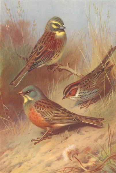 Associate Product BRITISH BIRDS. Cirl Bunting; Ortolan; Little Bunting. THORBURN 1925 old print