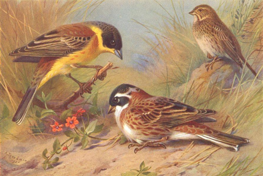 BRITISH BIRDS. Black-Headed Bunting; Rustic Bunting; Corn-Bunting. THORBURN 1925