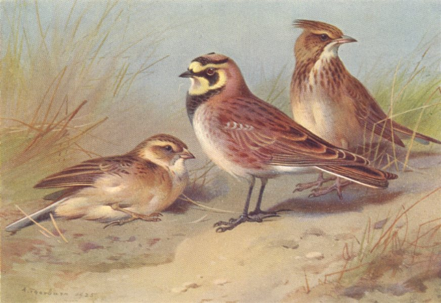 Associate Product BRITISH BIRDS. Short-Toed Lark; Shore-Lark; Crested Lark. THORBURN 1925 print
