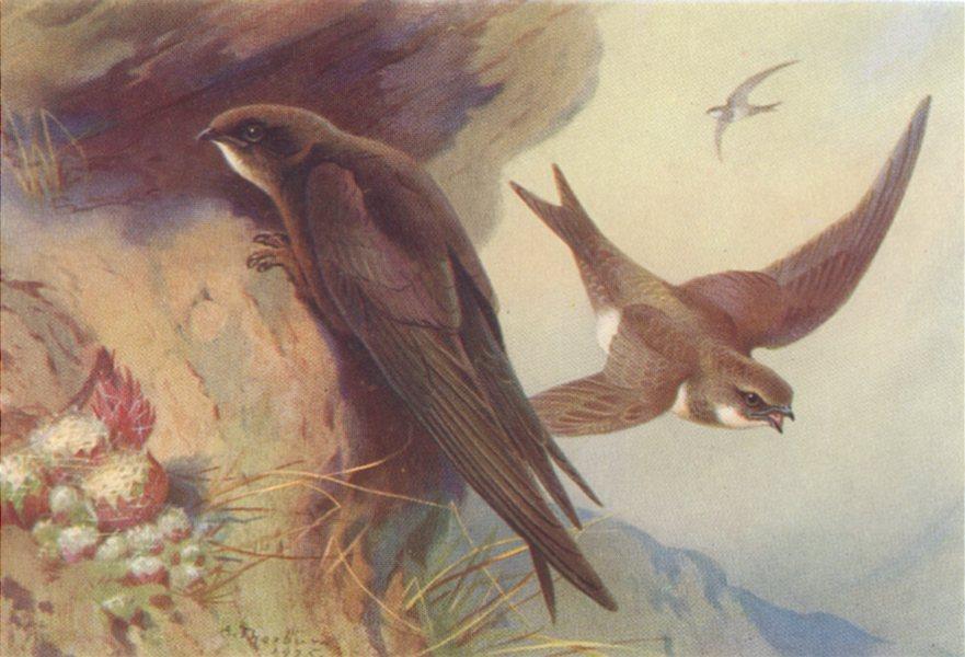 BRITISH BIRDS. Swift, Alpine Swift. THORBURN 1925 old vintage print picture
