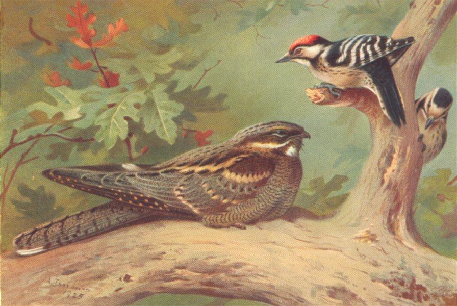 Associate Product BRITISH BIRDS. Nightjar; Lesser Spotted Woodpecker. THORBURN 1925 old print