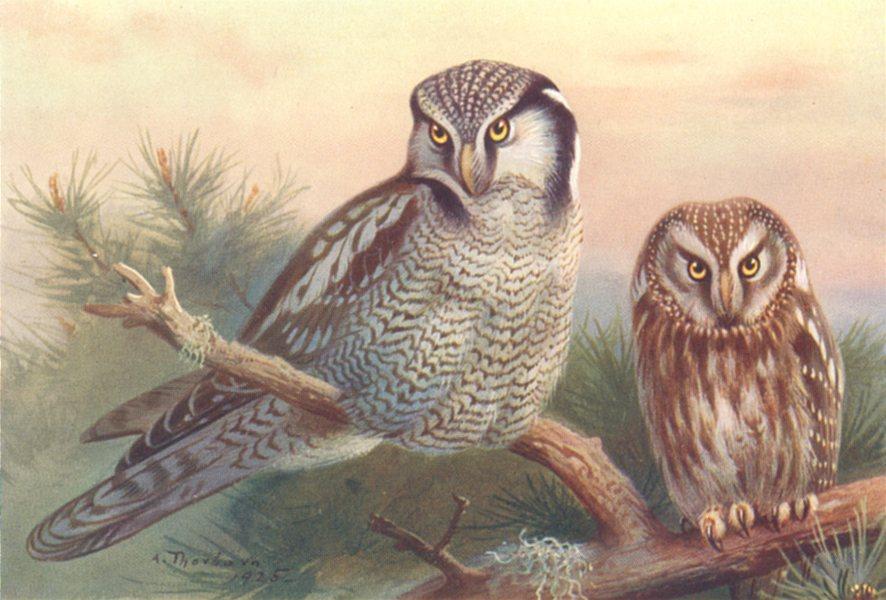 Associate Product BRITISH BIRDS. Hawk-Owl; Tengmalm's Owl. THORBURN 1925 old vintage print