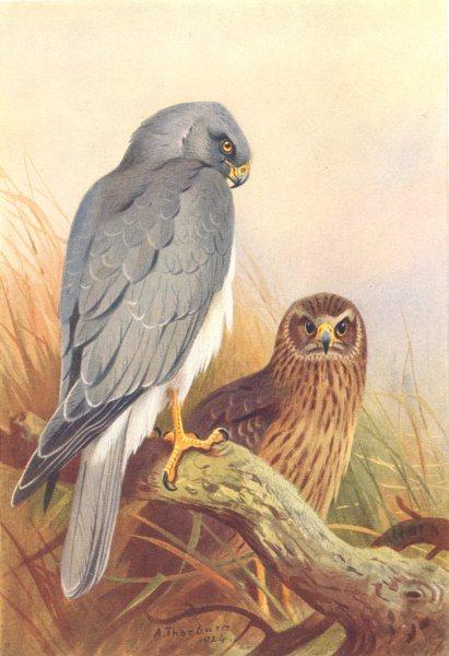 Associate Product BRITISH BIRDS. Hen-Harrier. THORBURN 1925 old vintage print picture