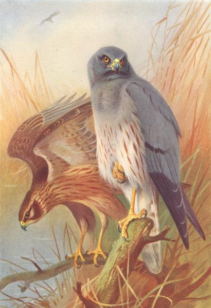 Associate Product BRITISH BIRDS. Montagu's Harrier (male and female) . THORBURN 1925 old print