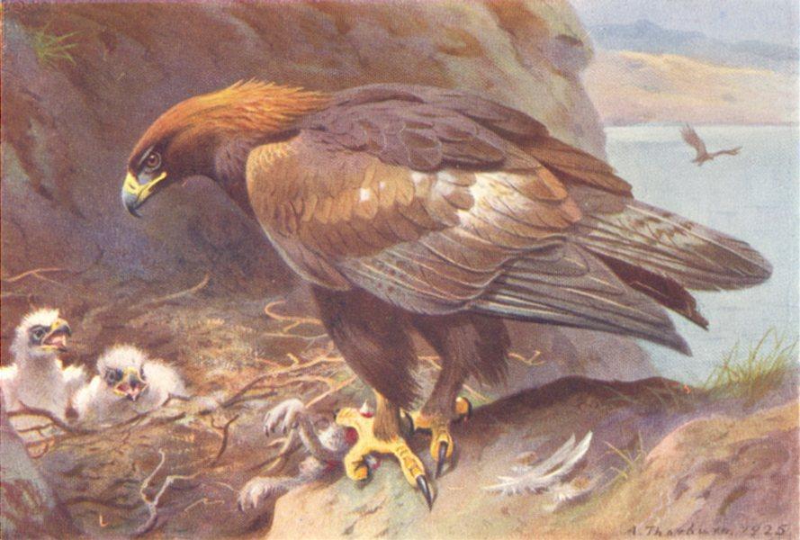 Associate Product BRITISH BIRDS. Rough-Legged Buzzard. THORBURN 1925 old vintage print picture