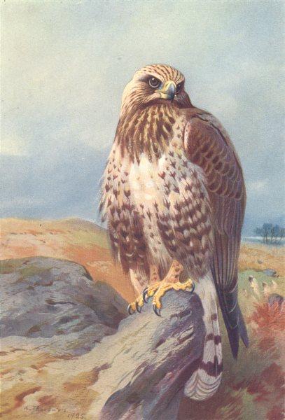 Associate Product BRITISH BIRDS. Golden Eagle. THORBURN 1925 vintage print picture