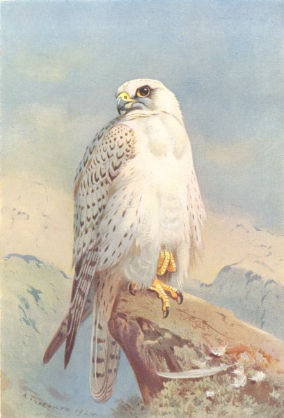 Associate Product BRITISH BIRDS. Greenland Falcon. THORBURN 1925 old vintage print picture