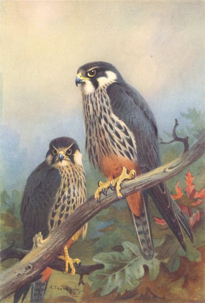 Associate Product BRITISH BIRDS. Hobby (male and female) . THORBURN 1925 old vintage print