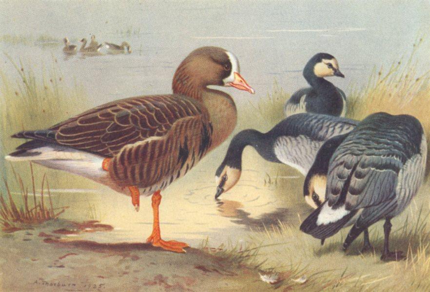 Associate Product BRITISH BIRDS. Grey Lag-Goose. THORBURN 1926 old vintage print picture