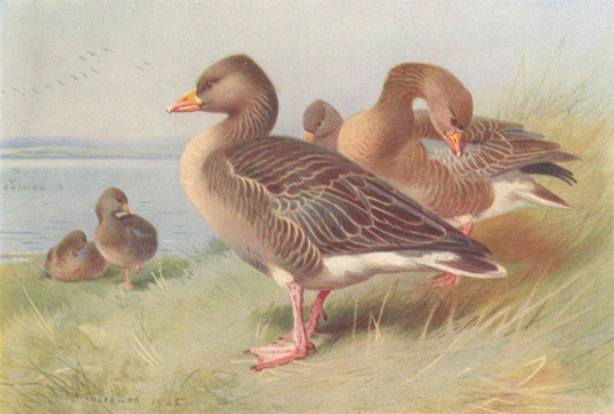 Associate Product BRITISH BIRDS. White-Fronted Goose; Bernacle Goose. THORBURN 1926 old print