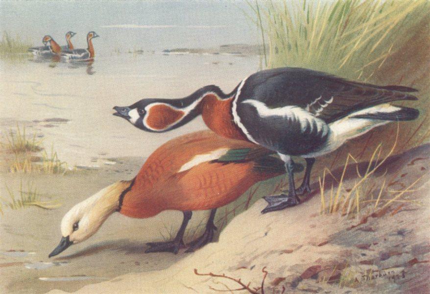 Associate Product BRITISH BIRDS. Bean-Goose; Pink-Footed Goose. THORBURN 1926 old vintage print