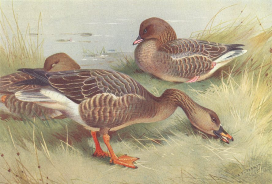 Associate Product BRITISH BIRDS. Ruddy Sheld-Duck; Red Breasted Goose. THORBURN 1926 old print