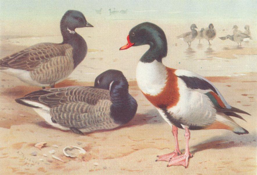 Associate Product BRITISH BIRDS. Brent Goose; Common Sheld-Duck. THORBURN 1926 old vintage print