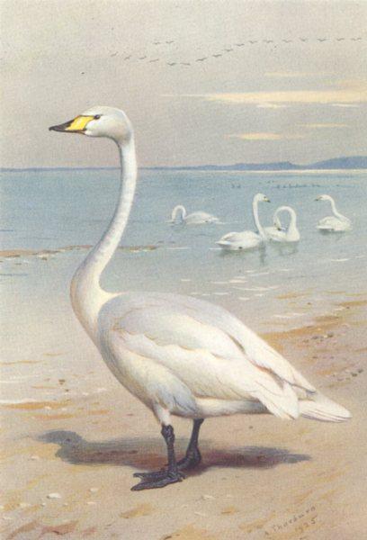 Associate Product BRITISH BIRDS. Whooper Swan. THORBURN 1926 old vintage print picture