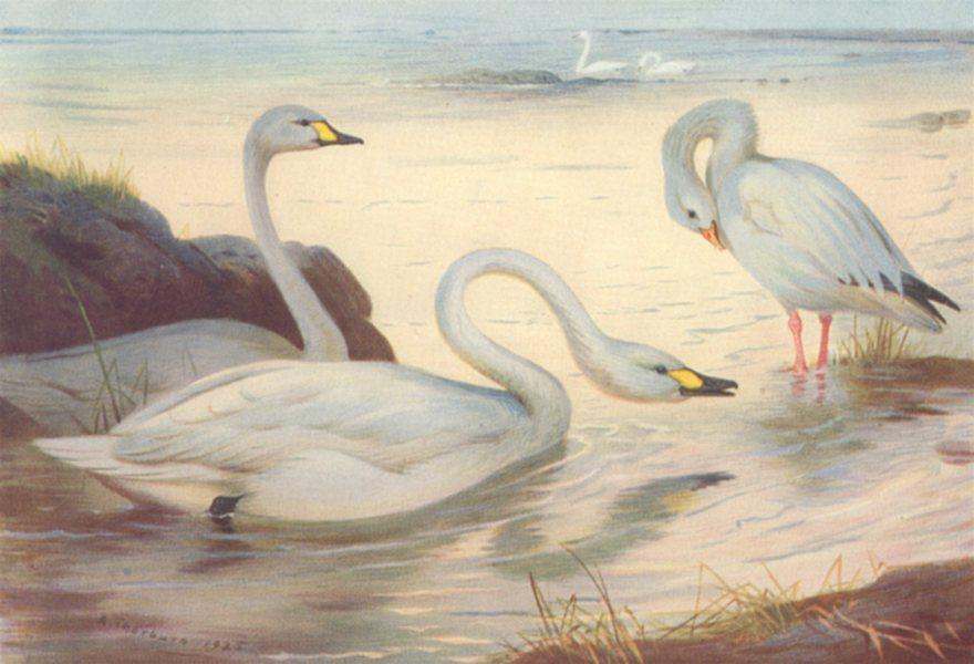 BRITISH BIRDS. Bewick's Swan; Snow-Goose. THORBURN 1926 old vintage print