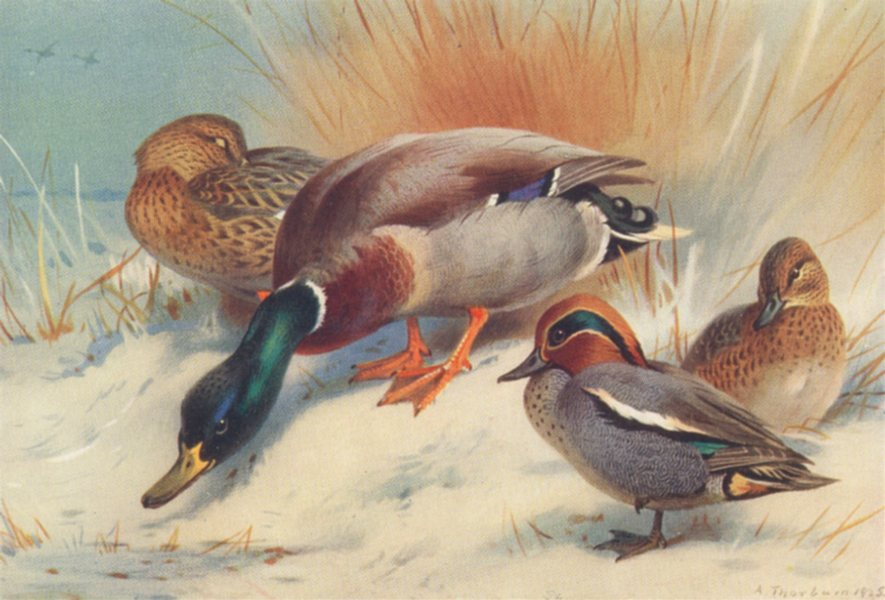 Associate Product BRITISH BIRDS. Mallard; Teal. THORBURN 1926 old vintage print picture