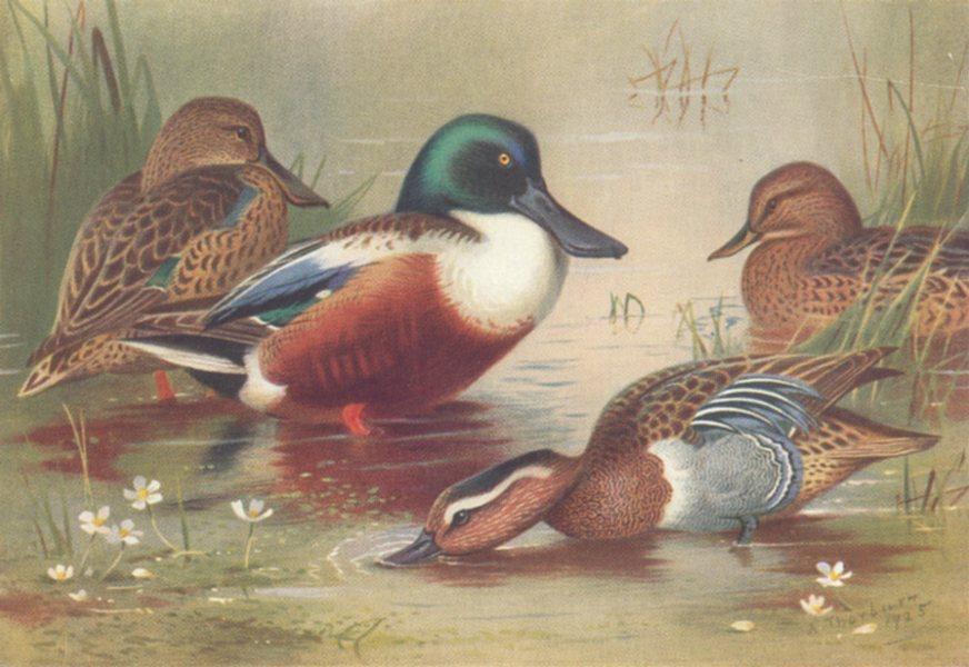 Associate Product BRITISH BIRDS. Shoveler; Garganey. THORBURN 1926 old vintage print picture