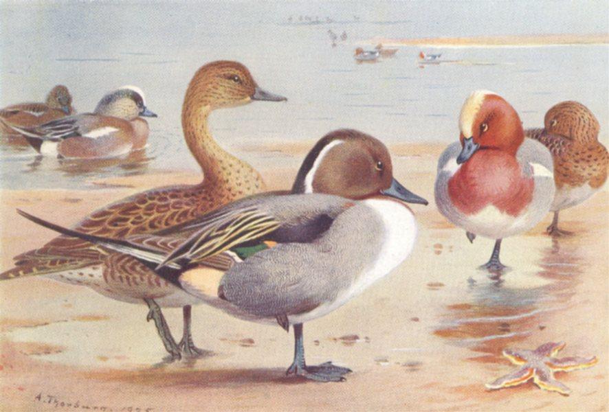 Associate Product BRITISH BIRDS. American Wigeon; Pintail; Wigeon. THORBURN 1926 old print