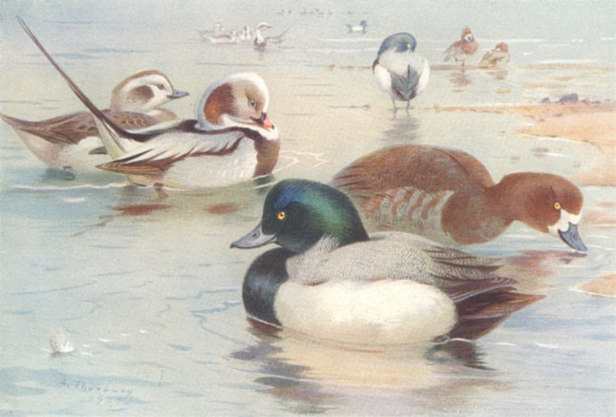 Associate Product BRITISH BIRDS. Long-Tailed Duck; Scaup-Duck. THORBURN 1926 old vintage print