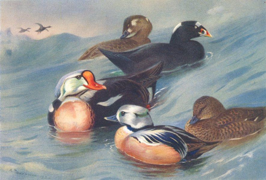 Associate Product BRITISH BIRDS. King-Eider; Surf-Scoter; Steller's Eider. THORBURN 1926 print