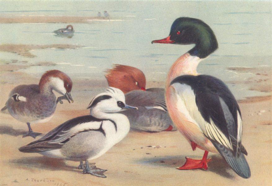 Associate Product BRITISH BIRDS. Smew; Goosander. THORBURN 1926 old vintage print picture
