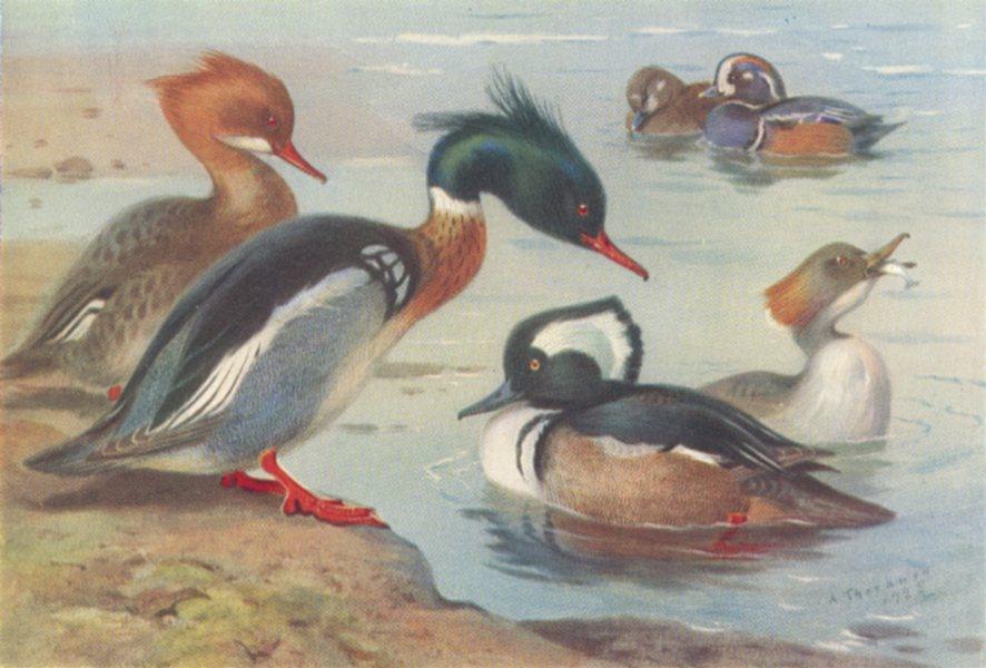 Associate Product BRITISH BIRDS. Red-Breasted Merganser; Harlequin Duck; Hooded. THORBURN 1926
