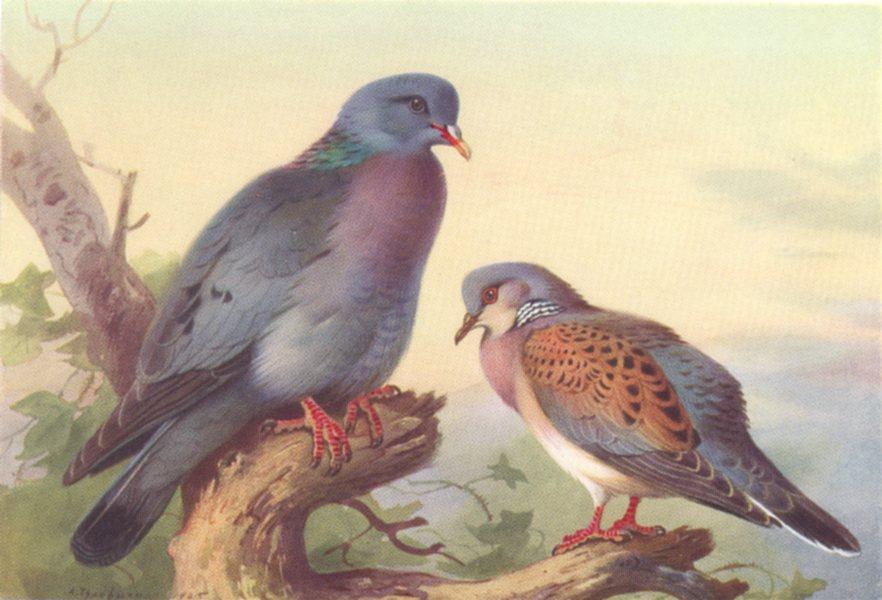 Associate Product BRITISH BIRDS. Stock-Dove; Turtle-Dove. THORBURN 1926 old vintage print