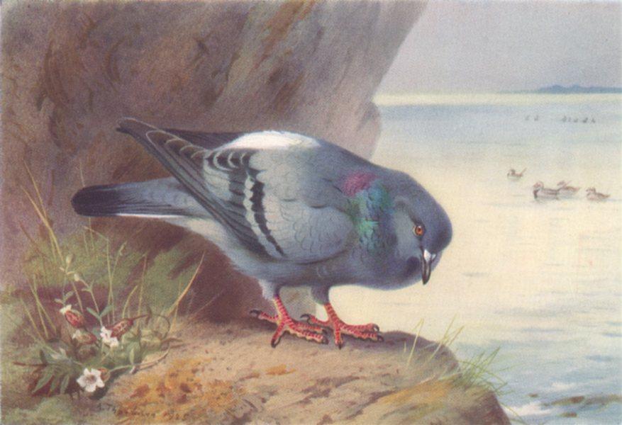 BRITISH BIRDS. Rock-Dove. THORBURN 1926 old vintage print picture