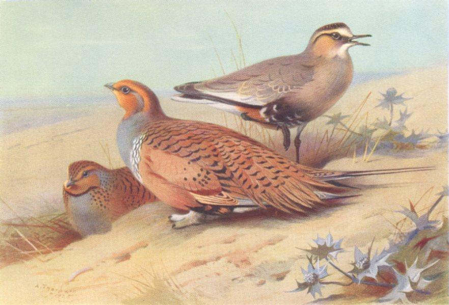 Associate Product BRITISH BIRDS. Pallass Sand-Grouse; Sociable Plover. THORBURN 1926 old print