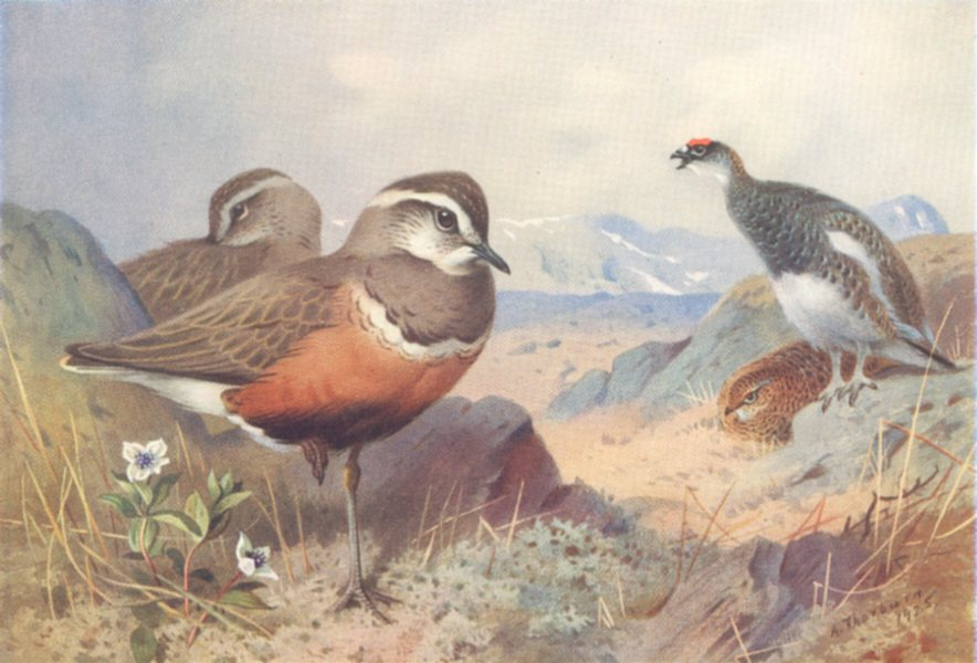 Associate Product BRITISH BIRDS. Dotterel; Ptarmigan male and female. THORBURN 1926 old print
