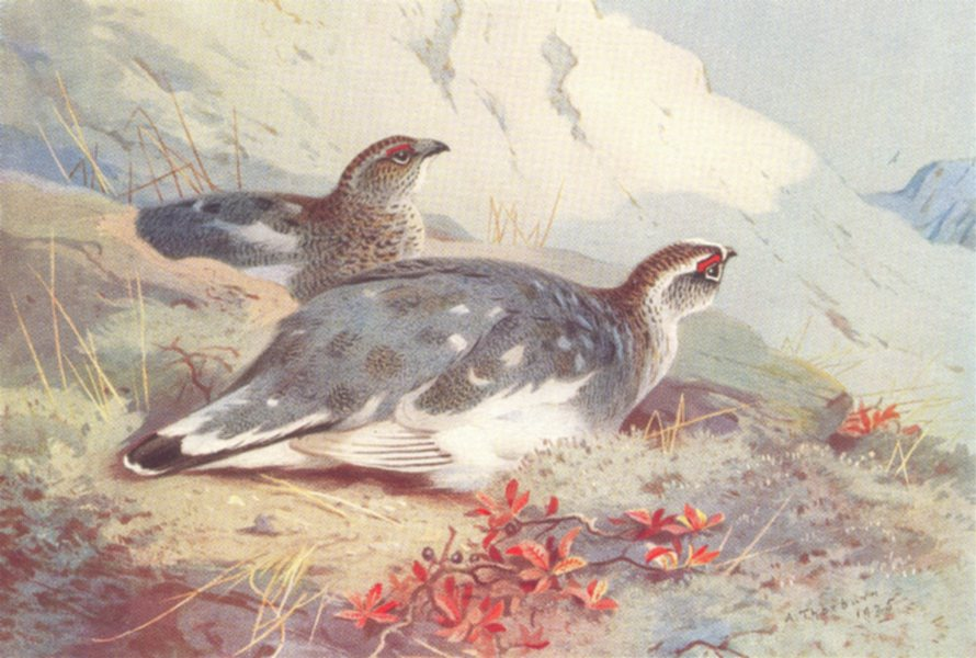 Associate Product BRITISH BIRDS. Ptarmigan (male and female-winter) . THORBURN 1926 old print