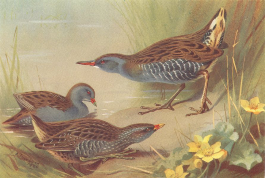 Associate Product BRITISH BIRDS. Little Crake; Spotted Crake; Water-Rail. THORBURN 1926 print