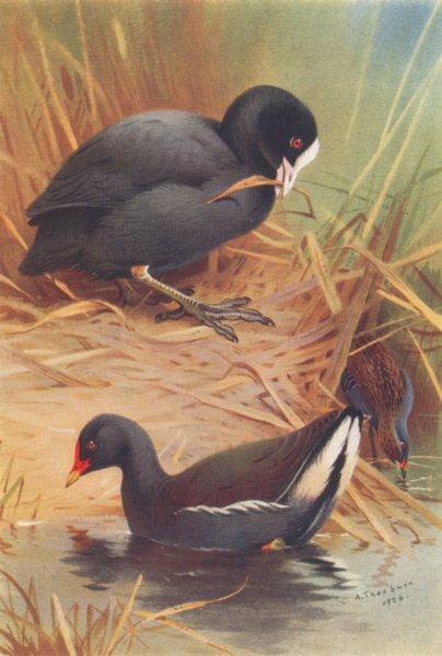 Associate Product BRITISH BIRDS. Coot Moor-Hen; Baillon's Crake. THORBURN 1926 old vintage print