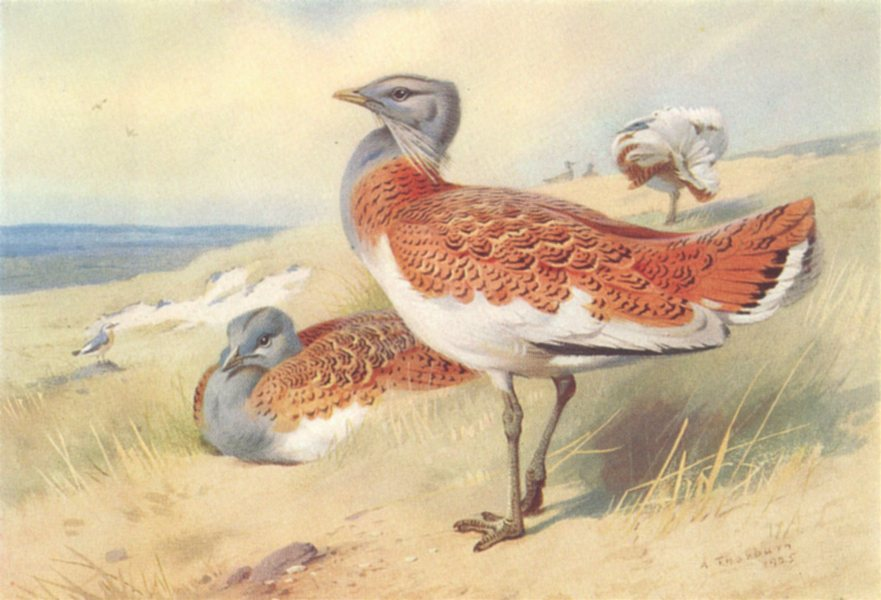 BRITISH BIRDS. Great Bustard (male and female) . THORBURN 1926 old print