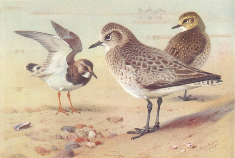 Associate Product BRITISH BIRDS. Turnstone (winter) ; Grey Plover; Golden. THORBURN 1926 print