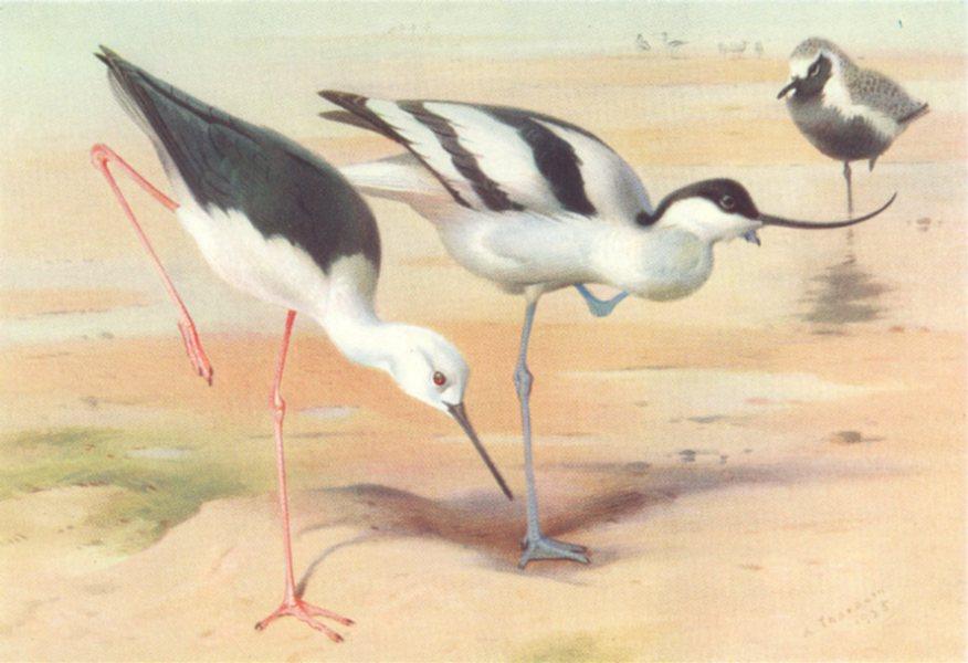 Associate Product BRITISH BIRDS. Black-Winged Stilt; Avocet; Grey Plover. THORBURN 1926 print