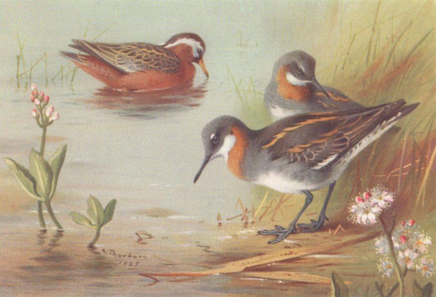 Associate Product BRITISH BIRDS. Grey Phalarope; Red-Necked Phalarope. THORBURN 1926 old print