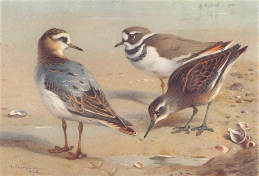 Associate Product BRITISH BIRDS. Grey Phalarope; Killdeer Plover; Red-Necked. THORBURN 1926