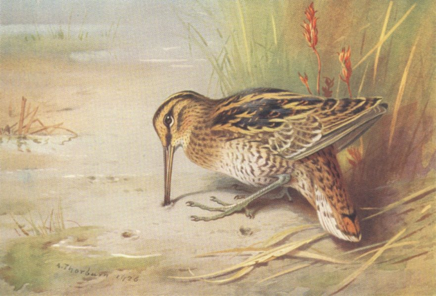 Associate Product BRITISH BIRDS. Great Snipe. THORBURN 1926 old vintage print picture