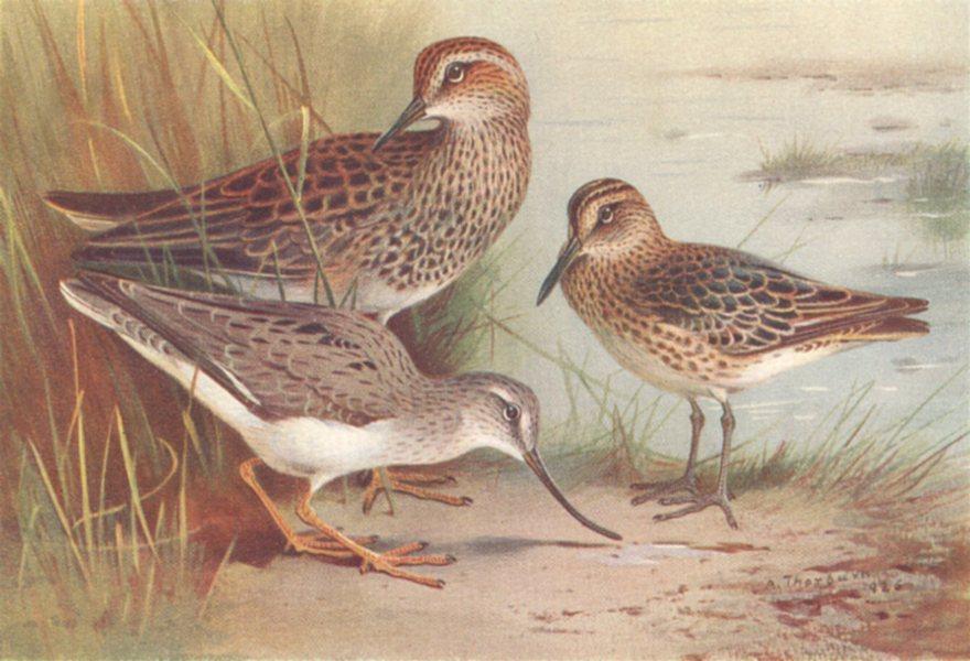 Associate Product BRITISH BIRDS. American Pectoral Sandpiper Terek; Broad-Billed. THORBURN 1926