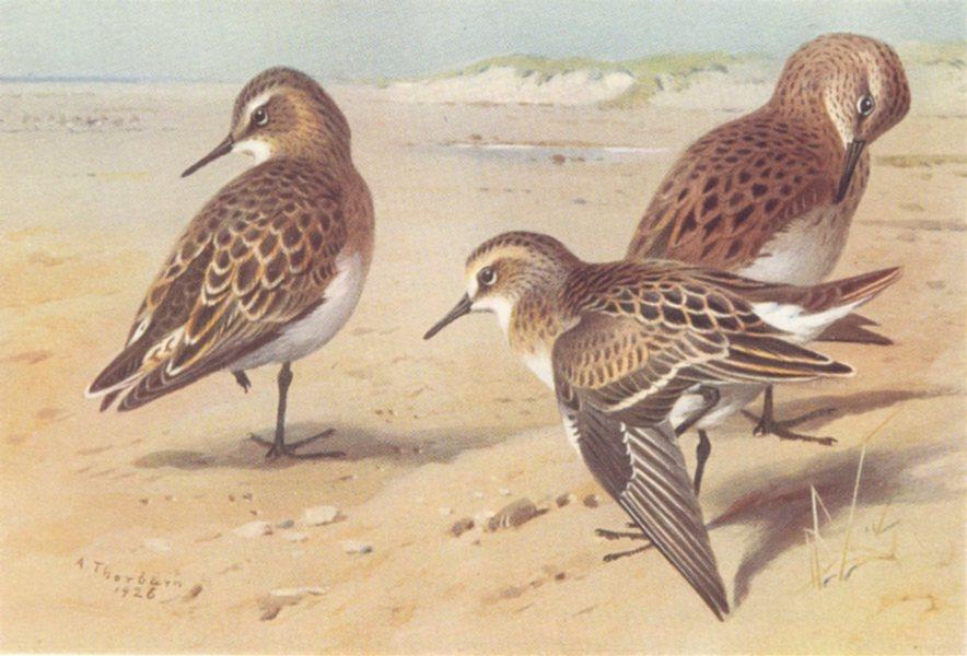 Associate Product BRITISH BIRDS. Baird's Sandpiper; Bonaparte's Sandpiper Stint. THORBURN 1926