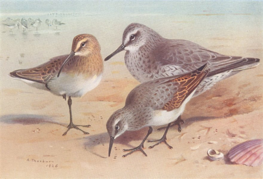 Associate Product BRITISH BIRDS. Curlew-Sandpiper; Knot; Dunlin. THORBURN 1926 old vintage print