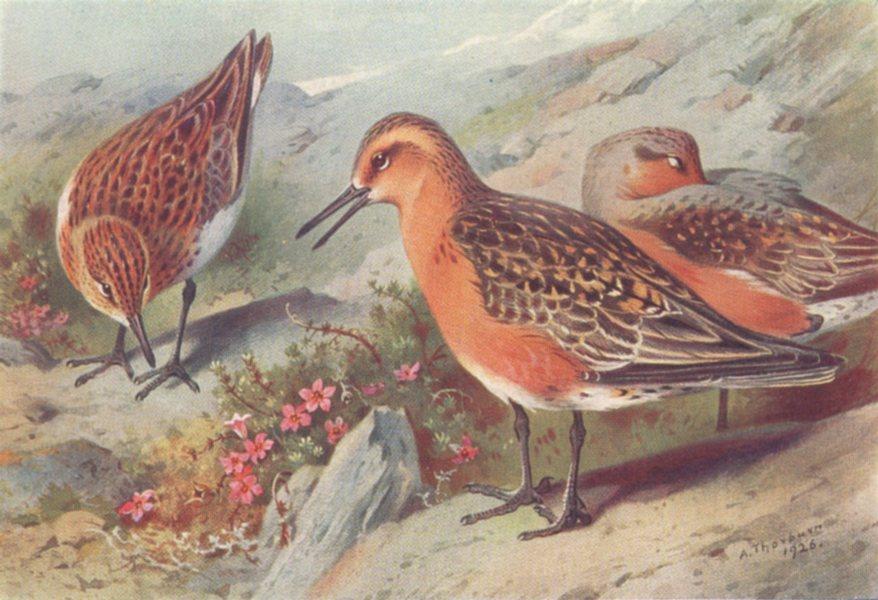 Associate Product BRITISH BIRDS. Sanderling (summer) ; Knot (summer) . THORBURN 1926 old print