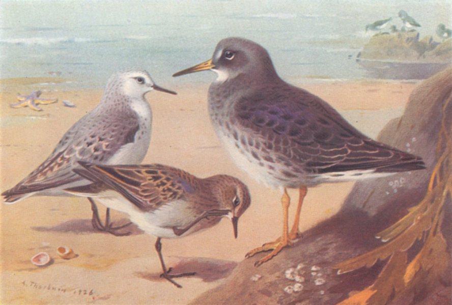 Associate Product BRITISH BIRDS. Sanderling; Temminck's Stint; Purple Sandpiper. THORBURN 1926