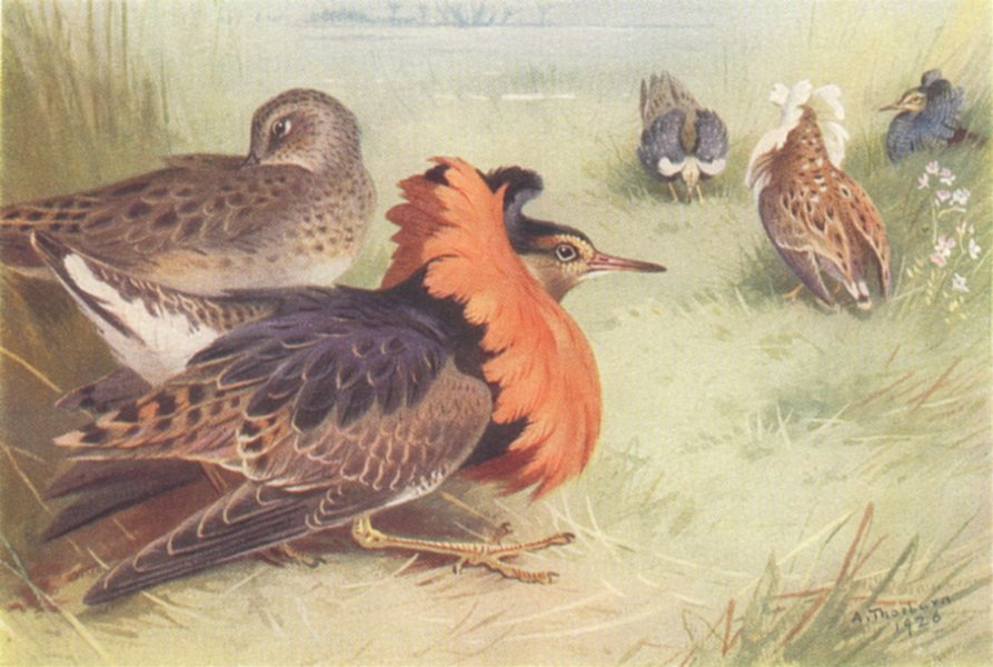 Associate Product BRITISH BIRDS. Ruff (four types of male, and female) . THORBURN 1926 old print