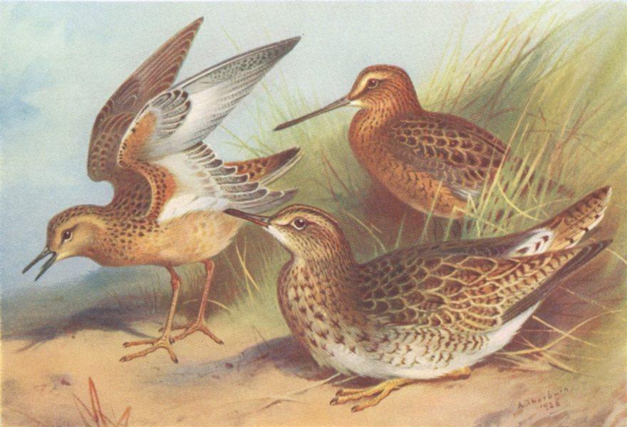 Associate Product BRITISH BIRDS. Buff-Breasted Sandpiper; Red-Snipe Bartram's. THORBURN 1926