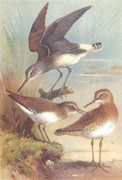 Associate Product BRITISH BIRDS. Green Sandpiper; Cmn Sandpiper; Wood-Sandpiper. THORBURN 1926